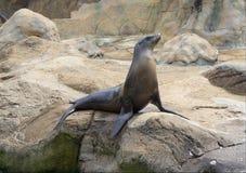 De zeeleeuw in Vorstelijk stelt royalty-vrije stock foto
