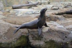 De zeeleeuw in Vorstelijk stelt stock foto