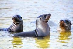 De zeeleeuwen die van de Galapagos in water in Gardner Bay, Espanola spelen is stock foto's