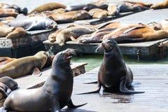 De zeeleeuwen van Californië Stock Fotografie