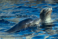 De Zeeleeuwen van Californië Stock Foto