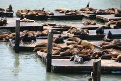 De zeeleeuwen van Californië bij Pijler 39 San Francisco Stock Afbeelding