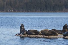 De Zeeleeuwen van Californië in Fanny Bay, het oostelijke Eiland van Vancouver, Bri royalty-vrije stock afbeeldingen