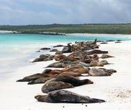 De Zeeleeuwen van de Galapagos Stock Fotografie