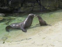 De Zeeleeuwen van de Galapagos Stock Afbeelding