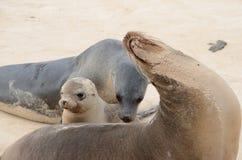 De Zeeleeuwen van de Galapagos (Zalophus-wollebaeki) Stock Foto's