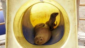 De Zeeleeuwen van de Galapagos op een Speelplaats stock fotografie