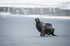 De zeeleeuwen van Nieuw Zeeland op de stranden dichtbij Dunedin in het Otago-Schiereiland royalty-vrije stock afbeelding