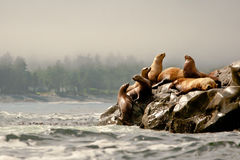De Zeeleeuwen van Steller Stock Foto's