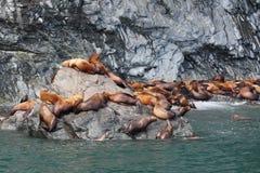 De Zeeleeuwen van Steller Stock Afbeelding