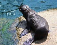 De Zeeleeuwjong van Californië Stock Foto's