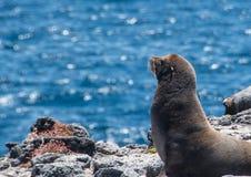 De Zeeleeuwzitting van de Galapagos op rotsachtige kust royalty-vrije stock foto's