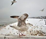 De zeemeeuw begon te vliegen royalty-vrije stock foto