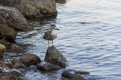 De zeemeeuw bevindt zich op een hoge smalle steen in het midden van het water het strand van het overzees Royalty-vrije Stock Fotografie