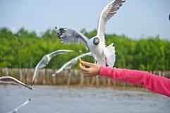 De zeemeeuw die in hemel vliegt die voedsel van hand neemt Stock Afbeeldingen