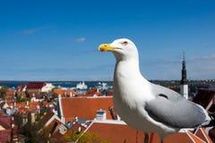 De zeemeeuw geniet van de menings Oude Stad in Tallinn Estland Royalty-vrije Stock Foto