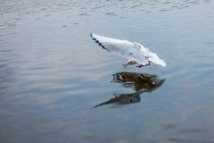 De zeemeeuw jaagt vissen in het meer Stock Foto's