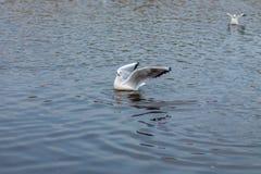 De zeemeeuw jaagt vissen in het meer Stock Foto