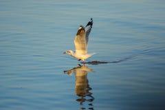 De zeemeeuw loopt op de oppervlakte van het overzees Stock Fotografie
