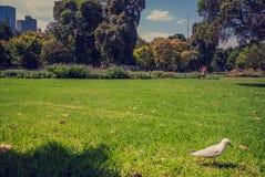 De zeemeeuw loopt op het gras bij Koningin Victoria Gardens royalty-vrije stock afbeelding