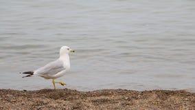 De zeemeeuw neemt een Wandeling op het Strand Stock Afbeelding