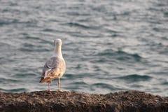 De zeemeeuw op het blauwe overzees onderzoekt de afstand royalty-vrije stock afbeeldingen