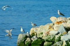 De zeemeeuw op overzeese kust Stock Fotografie