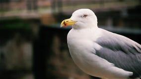 De zeemeeuw in Rome, sluit omhoog stock video