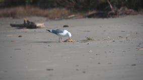 De zeemeeuw sleept Krab op Strand stock footage