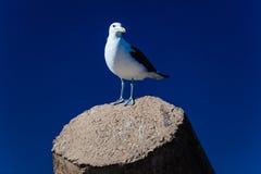 De zeemeeuw streek Concreet Blauw neer Stock Foto