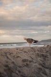 De Zeemeeuw van Californië in San Diego op strand Royalty-vrije Stock Afbeeldingen
