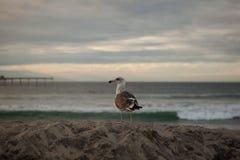 De Zeemeeuw van Californië in San Diego op strand Stock Foto's