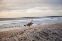 De Zeemeeuw van Californië in San Diego op strand Stock Foto