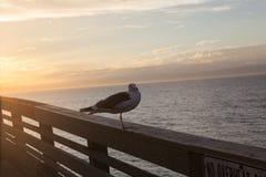 De Zeemeeuw van Californië in San Diego op strand Royalty-vrije Stock Foto