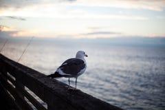 De Zeemeeuw van Californië in San Diego op strand Stock Fotografie