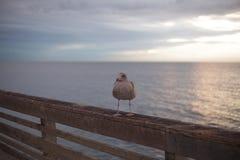 De Zeemeeuw van Californië in San Diego op strand Stock Afbeelding