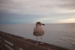 De Zeemeeuw van Californië in San Diego op strand Royalty-vrije Stock Fotografie