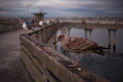 De Zeemeeuw van Californië in San Diego op strand Stock Afbeeldingen