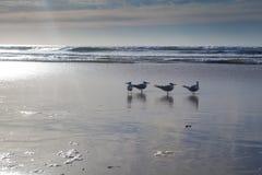 De Zeemeeuw van Californië in San Diego op strand Royalty-vrije Stock Afbeelding