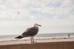 De Zeemeeuw van Californië in San Diego op strand Royalty-vrije Stock Foto's