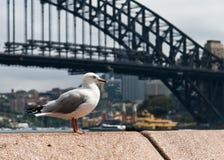 De zeemeeuw van Sydney stock afbeeldingen