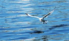 De zeemeeuw vangt weg bunkervissen en flys Royalty-vrije Stock Fotografie