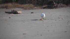 De zeemeeuw vindt Krab op Strand stock videobeelden