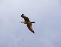 De zeemeeuw vliegt Stock Foto's
