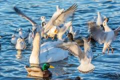 De zeemeeuwen, de eenden en een zwaan vechten voor broodcrumbs op een meer royalty-vrije stock foto