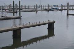 De zeemeeuwen komen op een jachthavendok wachtend samen op voedsel te verschijnen stock afbeelding