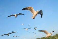De zeemeeuwen migreren van Siberië, Mongolië, Tibet en China om Pu, Samut Prakan Thailand te bonzen stock foto