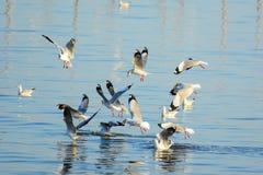 De zeemeeuwen rukken voedsel op de oppervlakte van het overzees weg Royalty-vrije Stock Fotografie