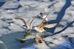 De zeemeeuwen stallen hun vleugels voor elkaar uit stock afbeelding