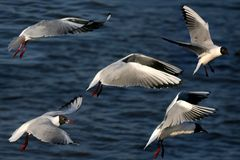 De zeemeeuwen is tijdens de vlucht - collage stock foto